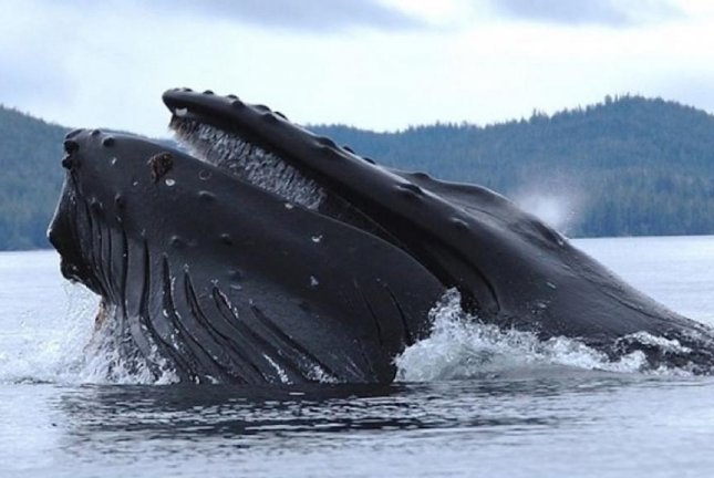 Researchers collected blow hole samples from humpback whales using a custom-built, remote-controlled hexacopter. Photo by the American Society for Microbiology