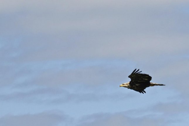 Flexible wrists help eagles glide, according to a new study. Photo by Pixabay/CC