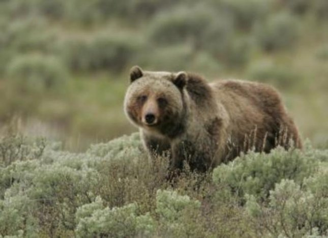 Grizzly bear in Yellowstone. Credit: Yellowstone National Park