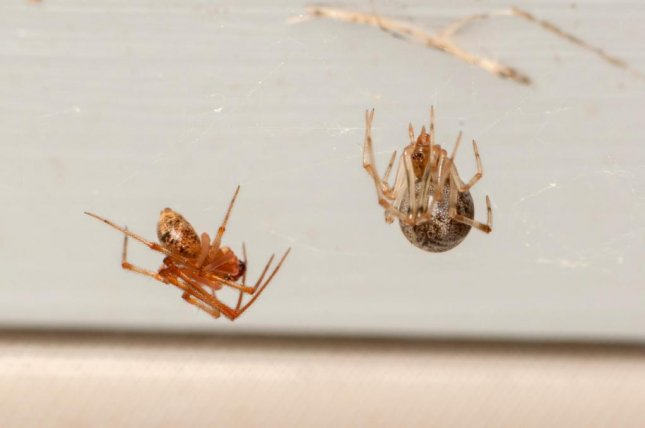 Cobweb spiders like the common house spider, Parasteatoda tepidariorum, are regularly found in American homes. Photo by Matt Bertone/NC State