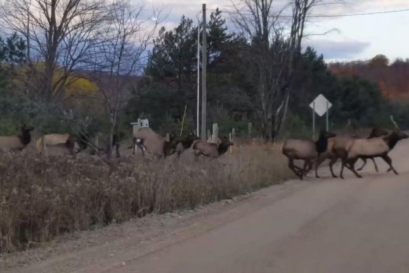 Dozens of elk run across a rural Michigan road. Screenshot: Jennifer Ellis/Facebook