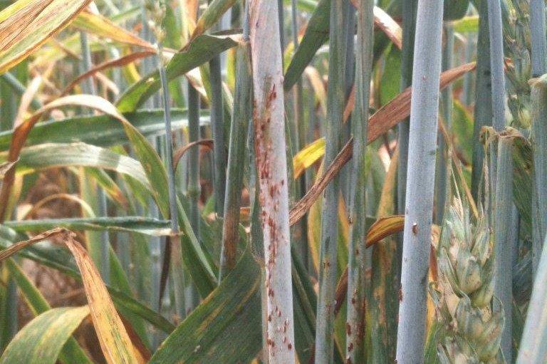 Study Warns Of Return Of Forgotten Crop Pathogen Upi