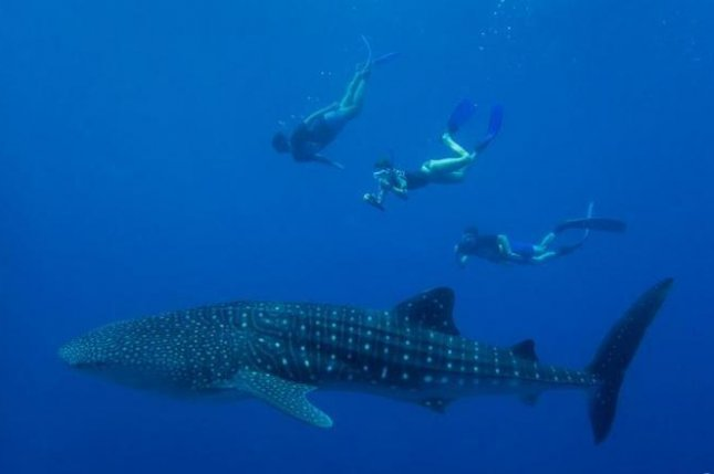 Whale sharks are the biggest fish in the sea and a major attraction for divers. Photo by MWSRP