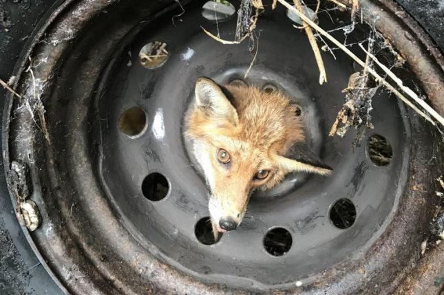 Animal rescuers in Bristol, England, came to the rescue of a fox that got its head stuck in the middle of an old tire. Photo courtesy of the RSPCA