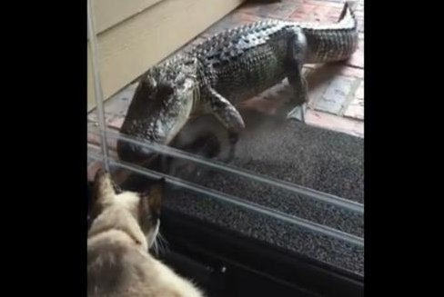 Watch Alligator Hungrily Eyes Cat Through Glass Door Upi Com