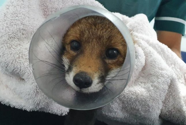 A fox was brought to an animal hospital in England for help removing a discarded plastic jar stuck over its head. Photo courtesy of the RSPCA