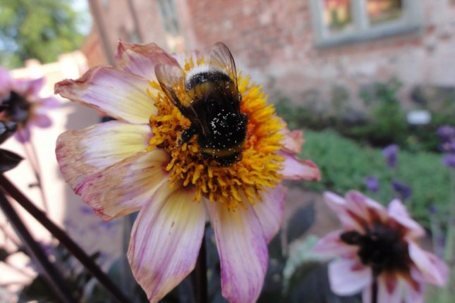 Larger bumblebees learn the locations of the best flowers, according to new research, while smaller ones can't afford to be as selective. Photo by Natalie Hempel de Ibarra