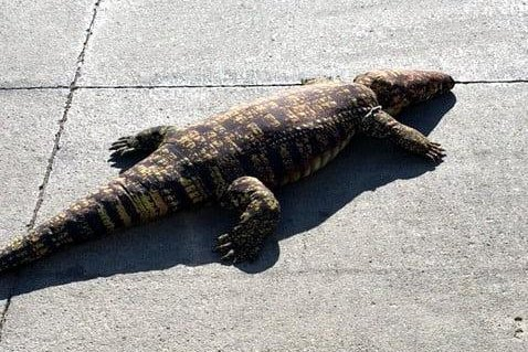 The Animal Rescue League of Iowa said animal services officers called to a Des Moines apartment complex on a report of a loose alligator found the reported reptile was a plush toy. Photo courtesy of the Animal Rescue League of Iowa