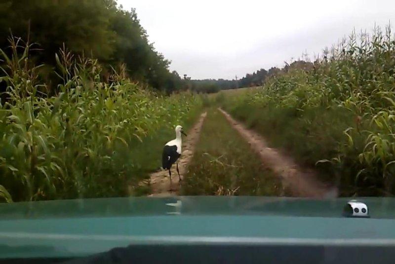 A slow-walking stork blocks a car on a rural road in Russia. Screenshot: Newsflare