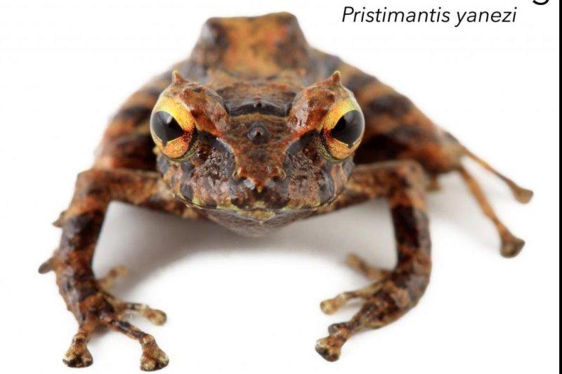 Researchers dubbed the new species Pristimantis yanezi the Yanez rain frog. Photo by Santiago Ron