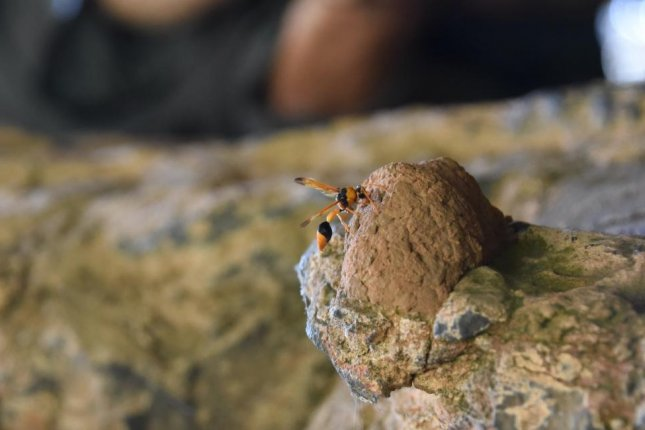 Wasp nests have helped scientists narrow the age range of Kimberley rock art in Western Australia. Photo by Damien Finch/University of Melbourne
