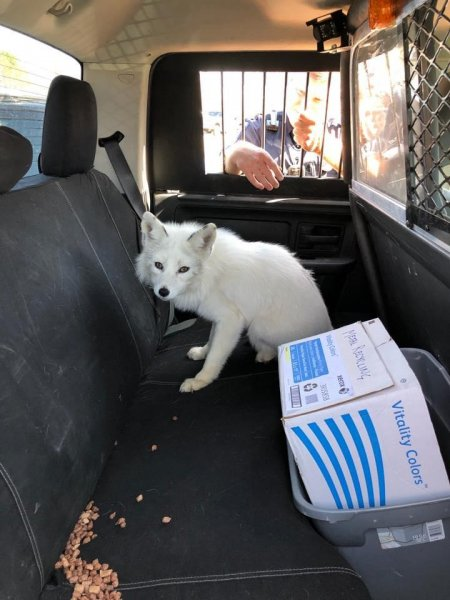 A Minnesota police officer called to catch a loose dog discovered the animal was actually an escaped pet fox. Photo courtesy of the Coon Falls Police Department/Facebook