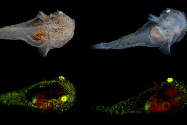 Scientists observed green and red biofluorescence in two juvenile variegated snailfish in the Arctic. Photo byJ. Sparks, D. Gruber, P. Kragh
