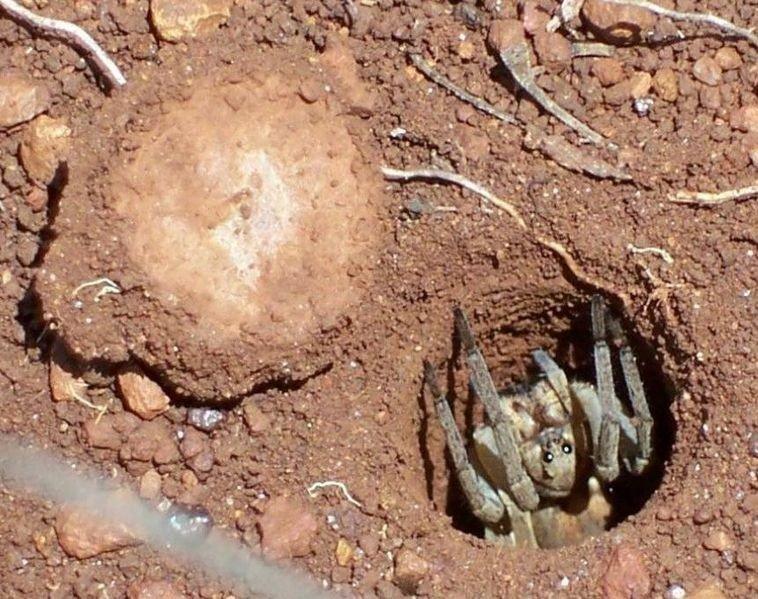 Trapdoor spider. Credit: Graham Manning