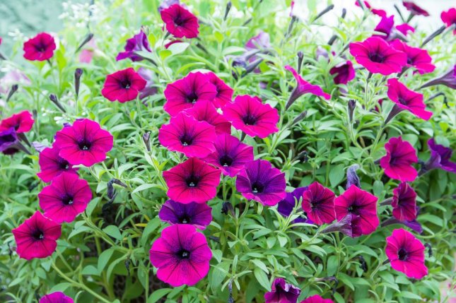 New research shows petunias put out fewer scent compounds at higher temperatures. Photo by phana sitti/Shutterstock