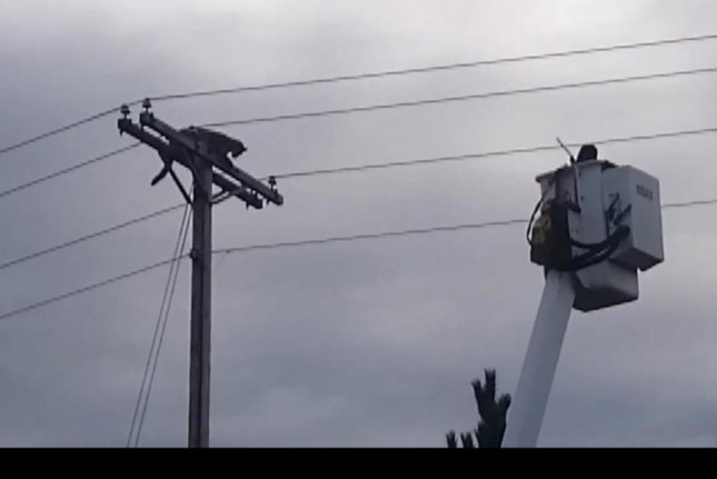A mountain lion stranded atop a telephone pole in Montana is tranquilized by a wildlife biologist. Screenshot: Newsflare