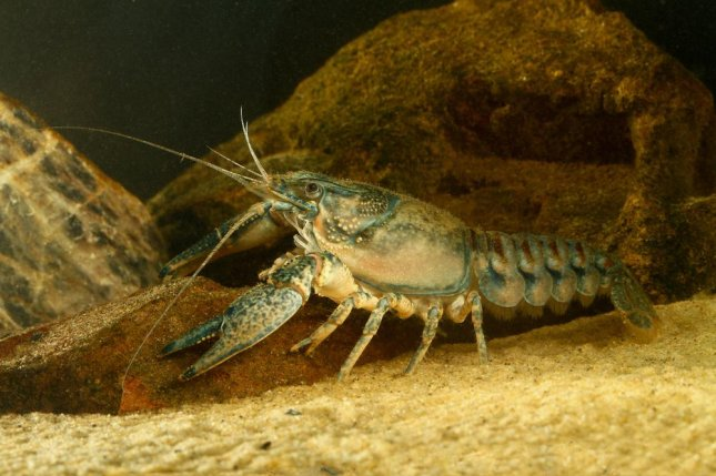 New research suggests crayfish may help clean up dirty rivers, boosting macroinvertebrate populations. Photo by Geza Farkas/Shutterstock