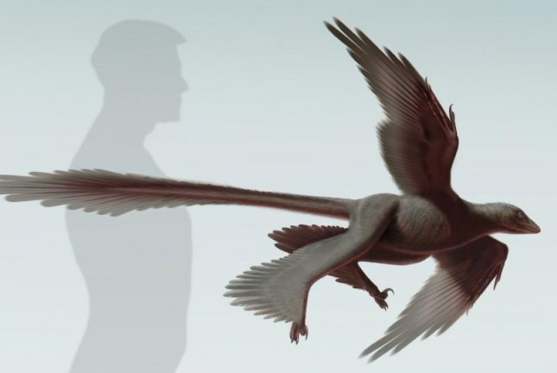 An artistic representation of the Changyuraptor yangi. (Stephanie Abramowicz/Dinosaur Institute NHM)
