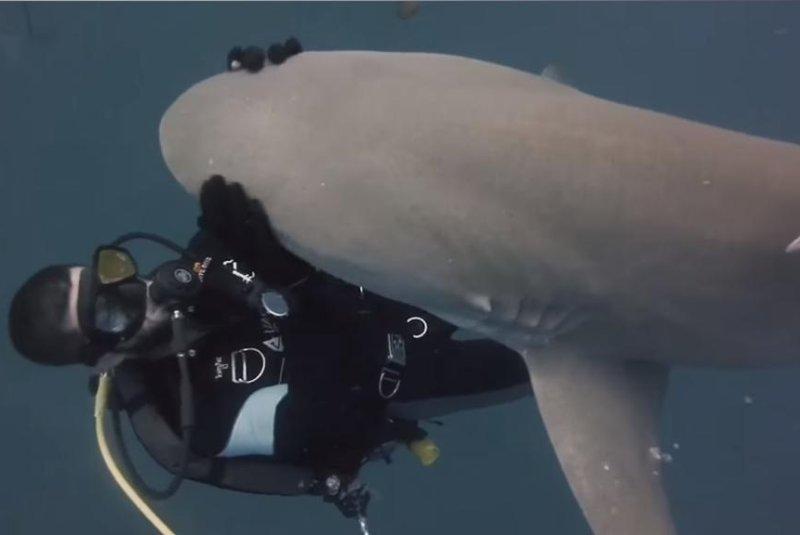 A friendly lemon shark gets a rub from a scuba diver in Jupiter, Fla. Screenshot: Shark Addicts/YouTube