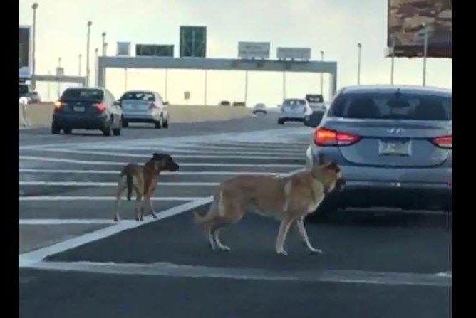 Two dogs run loose on the Betsy Ross Bridge in Pennsylvania. Screenshot: Sean Kelly/Twitter