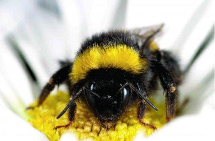 Wild bumblebee. Credit: Matthias Fuerst