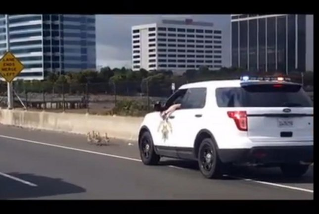 A California Highway Patrol trooper in hot pursuit of the felonious fowl clogging up traffic in Oakland. Screenshot: Storyful