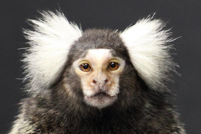 Researchers found marmoset monkeys that more often engage in friendly banter with their relatives and peers were also more likely to sport large tufts of white hair on their heads, a physical attribute associated with domestication. Photo by Rebecca Terrett and Lauren Kelly/Ghazanfar Lab/Princeton University