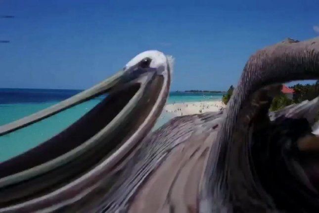 A pelican attacks a drone over a Jamaican beach. Screenshot: Newsflare