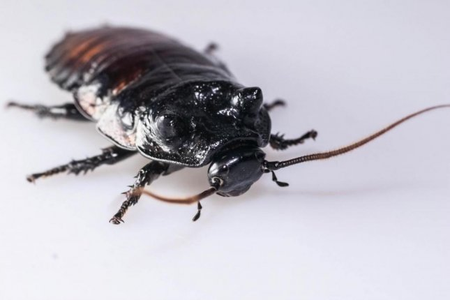 When a male wide-horned hissing cockroach, pictured, gets into a fight with another of the species, the decision on whether to fight or yield comes down to respiratory system size, a new study found. Photo by Dr. Ian Skicko