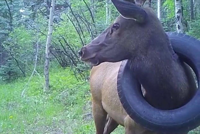Elk with tire around its neck freed after two years in Colorado