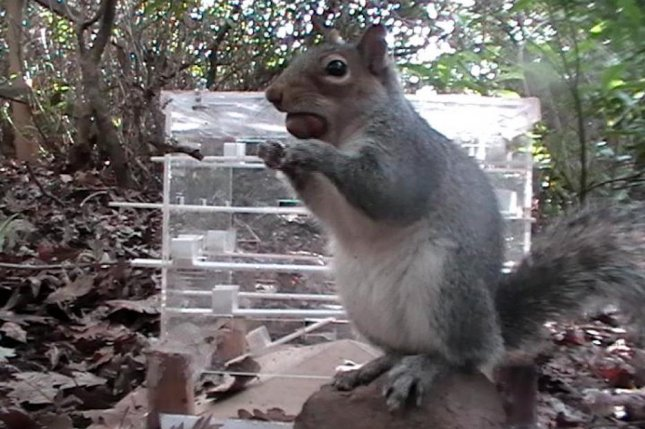 A Gray Squirrel Pictured After Successfully Retrieving His Hazelnut Prize Photo By The University Of Exeter