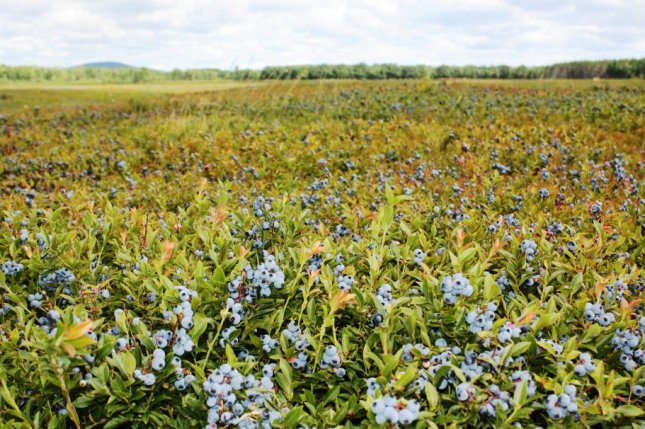 Maine wild blueberry growers lost a fast-growing export market when the China trade war began, and they have not received trade assistance from the Trump administration. Photo courtesy of David Yarborough