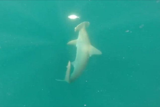 A blue runner attempts to evade a hammerhead shark by swimming around its field of vision. Screenshot: Storyful