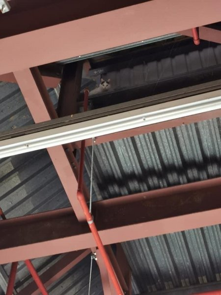 Animal rescuers were called to a supermarket in Britain to rescue a cat stranded in the beams across a supermarket loading bay ceiling. Photo courtesy of the RSPCA
