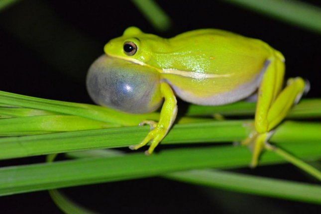 The lungs of female frogs act like noise-canceling headphones, according to researchers, in order to sort out the mating calls of multiple species, such as the male green treefrog pictured. Photo by Norman Lee