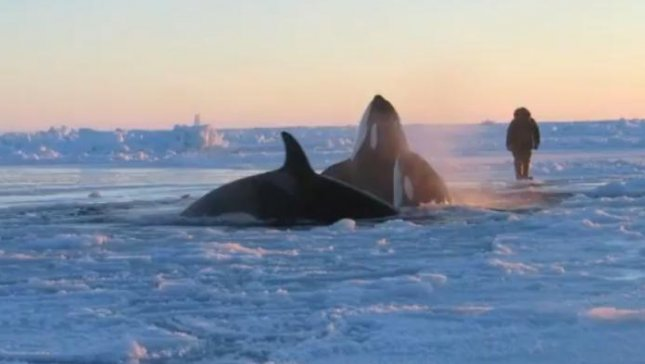 A pod of whales trapped under ice in a remote village near Quebec.