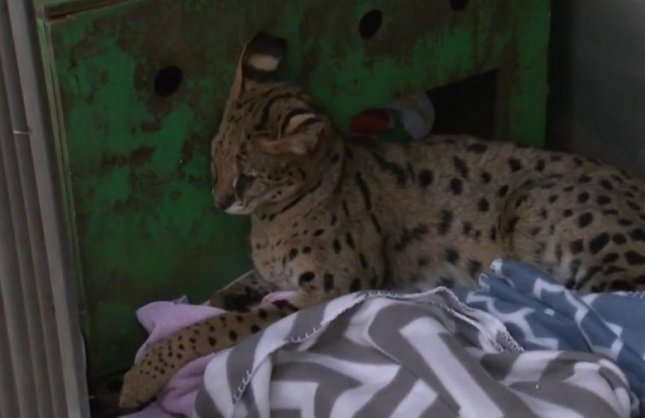 An exotic Savannah cat was taken to a New Jersey animal control center after being spotted wandering around a local neighborhood. Screen capture/CBS New York