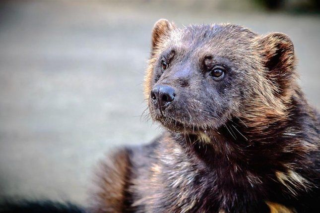 Blight or blessing? How the wolverine embodies Arctic diversity