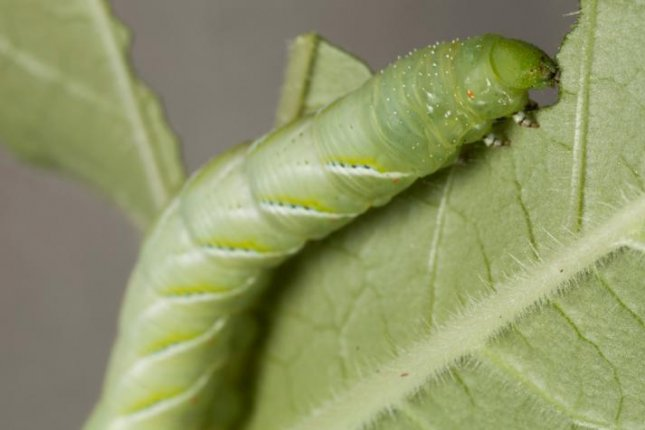 Scientists have discovered that caterpillars have significantly smaller microbiome than other animals. Photo courtesy University of Colorado Boulder