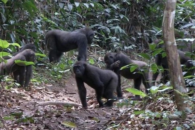 Western lowland gorillas show a high-degree of tolerance for non-relatives. Different family groups regularly interact, and non-relatives commonly eat and play together. Photo by Germán Illera