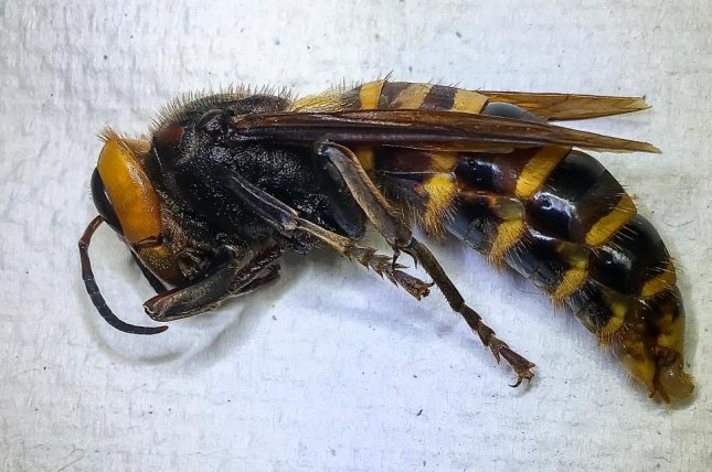 This Asian giant hornet was trapped near Birch Bay in Whatcom County, Wash. Photo courtesy of Washington State Department of Agriculture