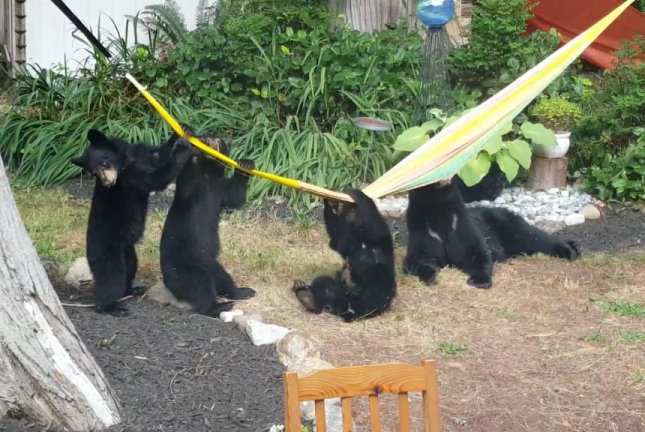 A mother bear and her cubs play with a Canadian man's backyard hammock. Screenshot: Storyful