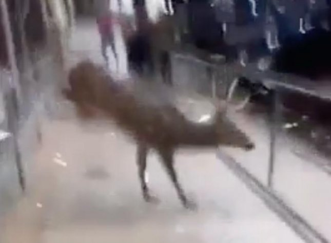 A deer crashed through the window of an American Eagle Outfitters store after becoming trapped when employees locked the door. It was unclear how the deer entered the store.