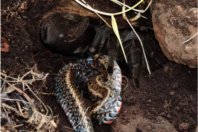 A tarantula feeds on a snake in the wild in Brazil. Photo courtesy of Leandro Malta Borges/Federal University of Santa Maria