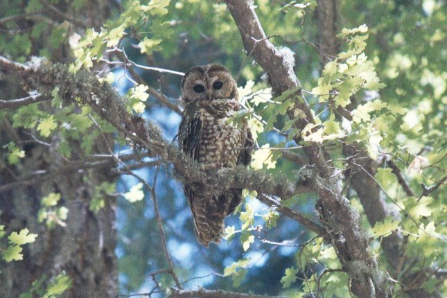 Mexican spotted owl in Arizona. (CC/FHWA)