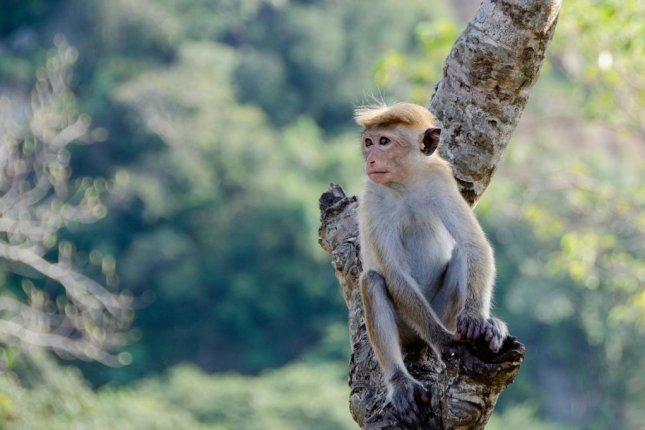 A monkey spotted on repeated occasions in Bloomington, Ind., was caught on video by witness Kinta Dowdell in the parking lot of the TownePlace Suites by Marriott. Photo by pen_ash/Pixabay.com