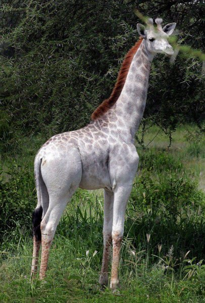 Omo, a leucistic giraffe at Tarangire National Park, is one one of only two giraffes in the area to be affected by the condition in 20 years. Photo by I-Love-Africa/Facebook