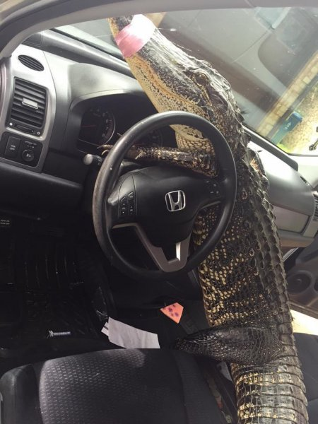Buster the gator attempts to take a trapper's SUV for a spin. Photo by Gator Squad/Facebook