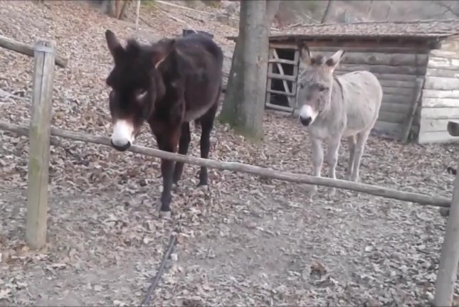 A donkey in Italy chooses brains over brawn when it comes to getting to the other side of a fence. Screenshot: Storyful