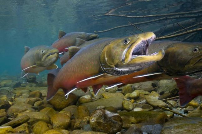 One of the fish species included on the new app is the endangered bull trout. Photo by U.S. Fish and Wildlife Service